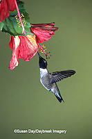 01161-001.05 Black-chinned Hummingbird (Archilochus alexandri) male on hibiscus flower   AZ