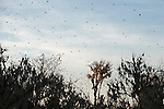 Columbia Ranch, Brazoria County, Damon, Texas; a large flock of black birds flying overhead in the late afternoon