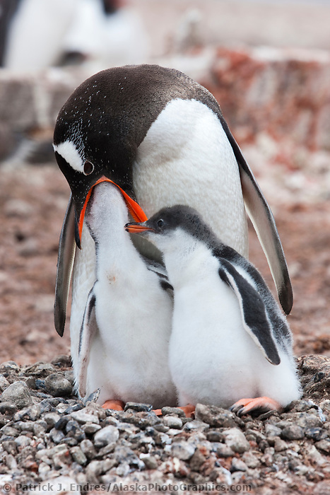 Gentoo penguin adult feeds chick, Port Lockroy, western Antarctic Peninsula.