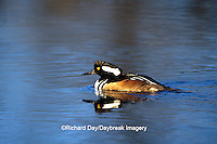 00766-00311 Hooded Merganser (Lophodytes cucullatus) male in wetland Marion Co.  IL