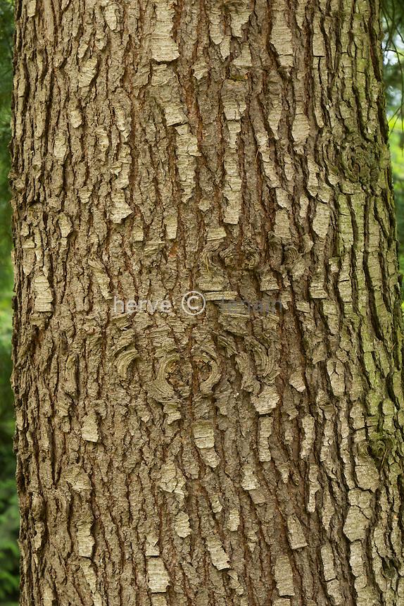 Tronc de cèdre (Cedrus deodara) trunk of deodar cedar (Cedrus deodara).