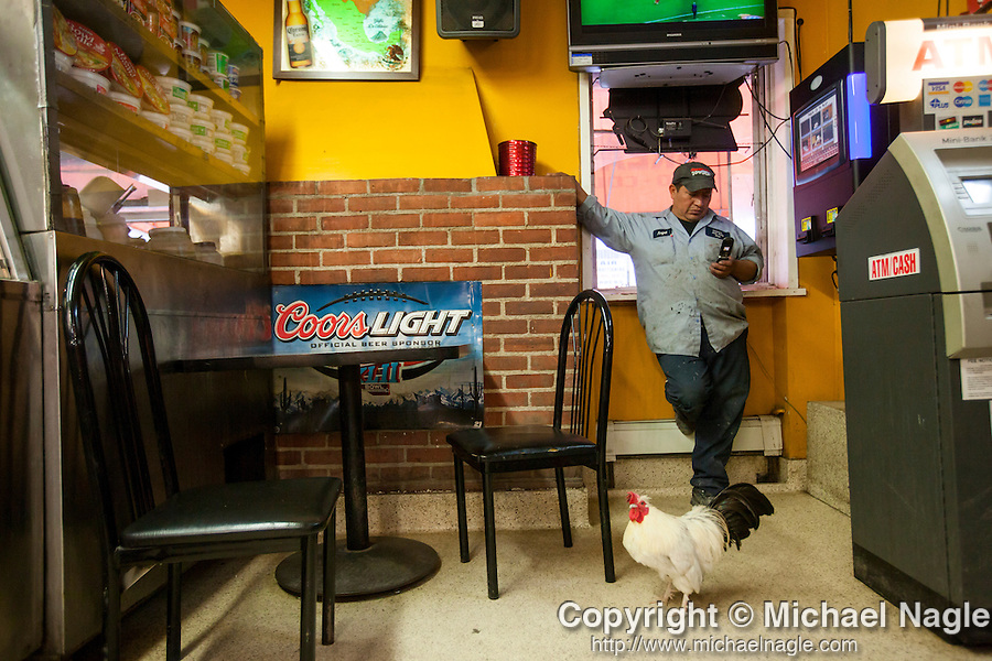 QUEENS, NY -- OCTOBER 19, 2013:  A chicken stands next to a man texting on his phone in the Master Express Deli & Restaurant in Willets Point on October 19, 2013 in Queens.  Photographer: Michael Nagle for The New York Times