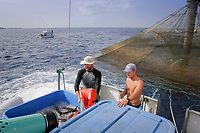 Kona Blue Water Farms co-owner Neil Sims holds a life preserver to cushion fresh live Kona kampachi, Seriola rivoliana, also known as Hawaiian yellowtail, kahala, or almaco jack, shooting through a suction tube as they are harvested from an aquaculture pen; assistant farm manager Kydd Pollock counts the fish as they fall into the ice; Kona Coast, Hawaii Island (the Big Island), Hawaiian Islands (Central Pacific Ocean)