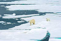 The unbridled protection of a mother polar bear is the only hope this spring cub has of survival against the odds of the changing climate, male polar bears and unforgiving arctic ocean.