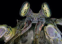 BNPS.co.uk (01202) 558833<br /> Picture: AnimalEarth<br /> <br /> Mantis shrimp.Their eyes contain 16 different light sensing cells, compared to 4 in humans, allowing them to see 100,000 colours, 10x more than us.<br /> <br /> New book uncovers the animal world in all its profusion and glory featuring an astounding cornucopia of astonishing life.<br /> <br /> An extraordinary new book reveals the weird and wonderful diversity of life on earth with a selection of stunning pictures of some of the lesser known creatures that inhabit the planet.<br /> <br /> Author Ross Kemp has travelled the globe photographing and researching some of the worlds wackiest animals, many to small to be seen by the human eye, for his new book Animal Earth.<br /> <br /> The book shows the bizarre lives of some of the most unknown and overlooked animals on the planet. Incredible photographs by some of the World's best macro photographers show the marine world in unprecedented detail. Some of the photographs reveal weird and wonderful organisms that have transparent skin, bold colours and some even appear to glow in the dark. <br /> <br /> The book, Animal Earth, costs &pound;29.95 from thamesandhudson.