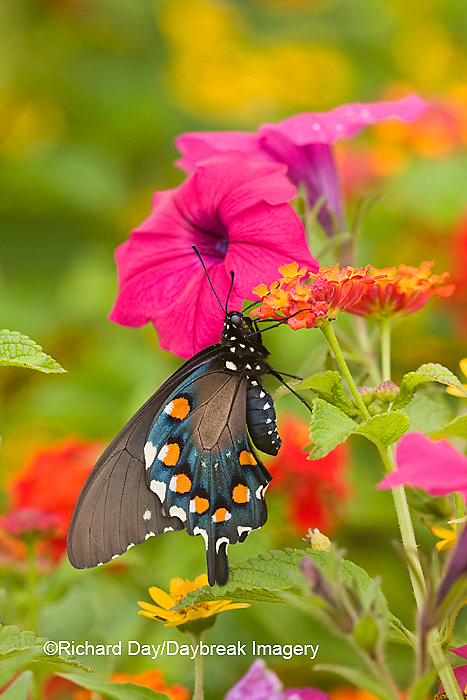03004-01006 Pipevine Swallowtail (Battus philenor) on Red Spread Lantana (Lantana camara) in butterfly garden, Marion Co.  IL