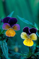 Intimate close-up of pair of Viola tricolor flowers in spring, taken at ground level, Beacon Hill Park, Victoria, BC