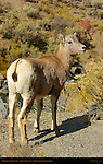 Bighorn Sheep, Juvenile, Gardner Canyon, North Entrance, Yellowstone National Park, Wyoming