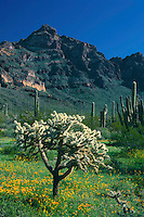 Mexican goldpoppy and chainfruit cholla<br />