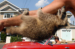 KNOLLWOOD BEACH,NY-AUGUST 3, 2006: A young raccoon clings to the arm of a man who wished to remain unidentified man in Knollwood Beach in Huntington on Thursday August 3, 2006. The man has been caring for the animal after it was found near its mother apparently killed in a traffic accident; and was reluctent to give his name because he wasn't sure it was legal to care for the animal. (Newsday Photo/Jim Peppler)