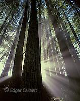 Sun Rays, Redwoods, Mount Tamalpais State Park, Marin County, California