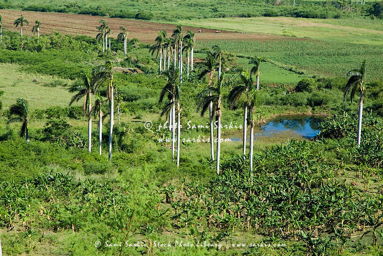 Coconut trees surrounded by lush countryside in the Valle de los Ingenios, Cuba.