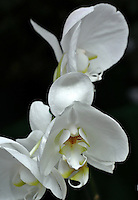 Orquidea Phalaenopsis Blanca Gigante vista en el Jardín Botánico, José Celestino Mutis, de la ciudad de Bogotá, Colombia./ Orchid Phalaenopsis White Giant seen at the Botanic Garden, Jose Celestino Mutis, in Bogota, Colombia. Photo: VizzorImage/ Gabriel Aponte / Staff
