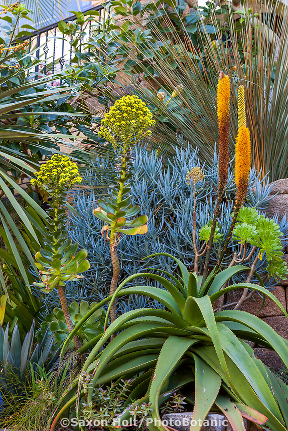 Aloe alooides (Graskop Aloe) with Aeonium arboreum, Jim Bishop and Scott Borden garden