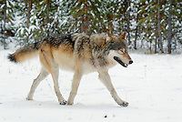 Wild Yellowstone Gray Wolf (Canis lupus).  Yellowstone National Park.