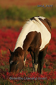 Bob, ANIMALS, REALISTISCHE TIERE, ANIMALES REALISTICOS, horses, photos+++++,GBLA4466,#a#, EVERYDAY