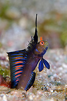 Gulf Signal Blenny, Emblemania hypacanthus, adult male in courtship display, Mexico, Sea of Cortez, Gulf of California, Pacific Ocean