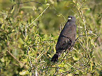 We see a lot of Snail kites in the northern Pantanal.