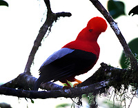 Male Andean cock-of-the-rock displaying