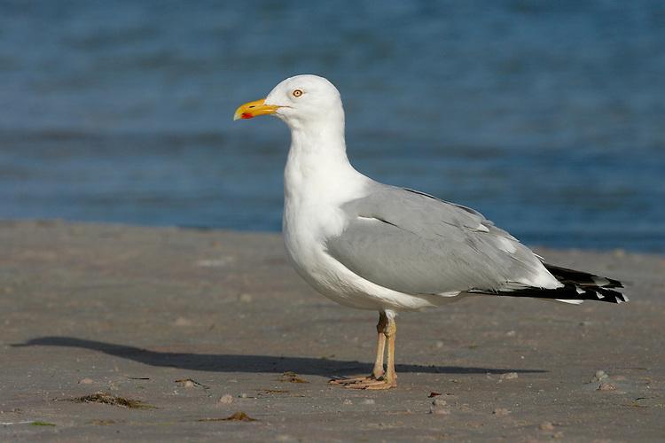 American Herring Gull - Larus smithsonianus - summer adult