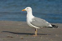 American Herring Gull - Larus smithsonianus - summer adult