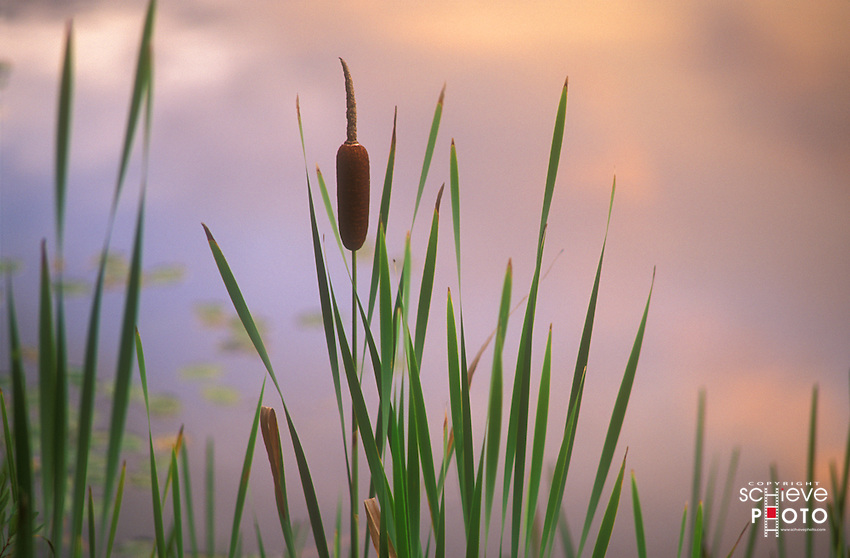 Lone cattail near pond.