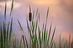 Lone cattail near pond.