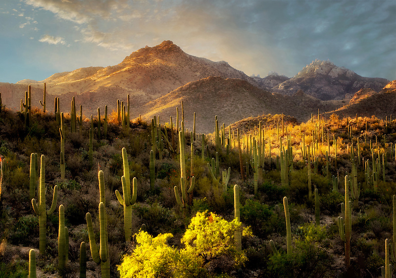 Suguaro cactus in Sabino Canyon. Arizona