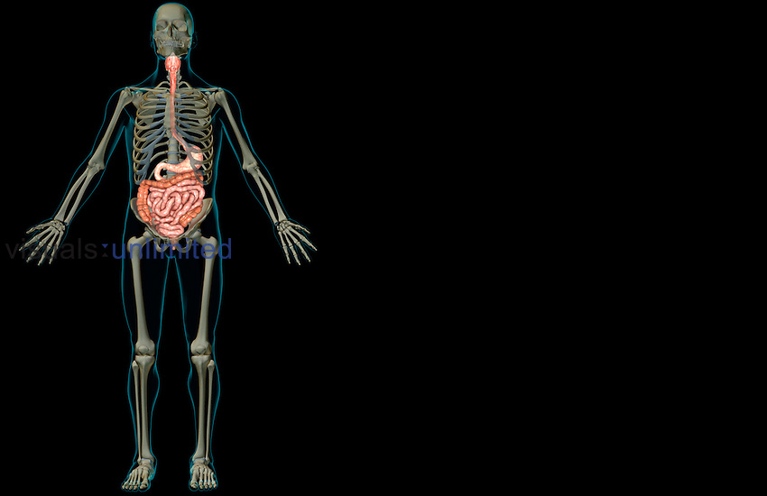 An anterior view of the digestive system relative to the skeleton. The surface anatomy of the body is semi-transparent and tinted turquoise. Royalty Free