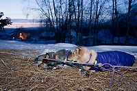 Jessie Royer dogs Mariah and Ruger rest on their straw in the early hours as dawn breaks at the Takotna checkpoint at 15 degrees below zero during the 2010 Iditarod