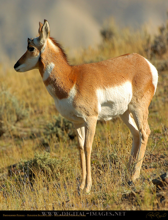 Pronghorn Female, Floating Island Lake, Yellowstone National Park, Wyoming