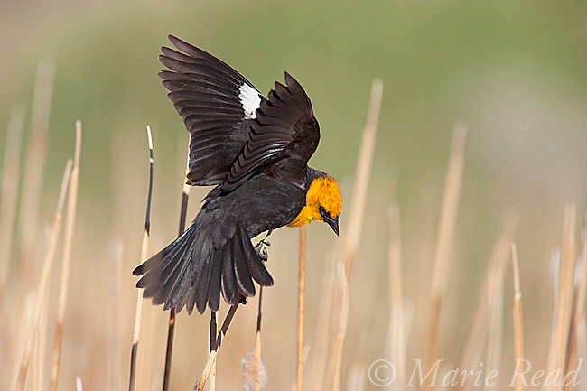 Yellow-headed Blackbird (Xanthocephalus xanthocephalus) male calling and displaying in cattail marsh, Mono Lake Basin, California, USA