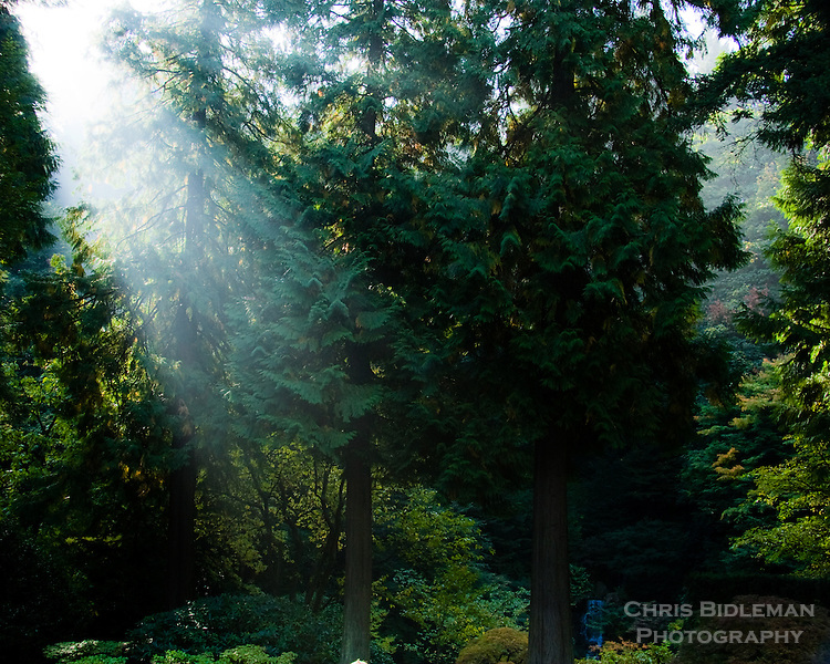 Sun peaking through the tall evergreen trees and mist in the Portland Japanese Garden in the Fall