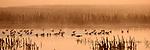 Puget Sound, Shorebirds feeding, Skagit River Estuary, Washington State, Pacific Northwest, USA, Lesser yellowlegs (Tringa flavipes), Dunlin (Calidris alpina).