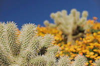 Teddy Bear Cholla Cactus (Opuntia bigelovii) in field of Mexican Gold Poppy (Eschscholzia californica mexicana), Tonto National Forest, Bartlett Lake , Arizona, USA