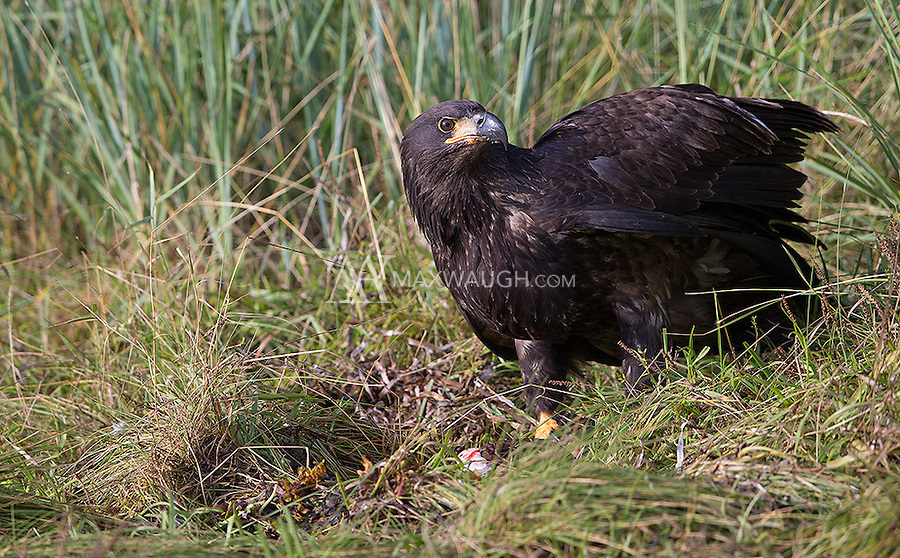 A young bald eagle stands guard over a salmon carcass.