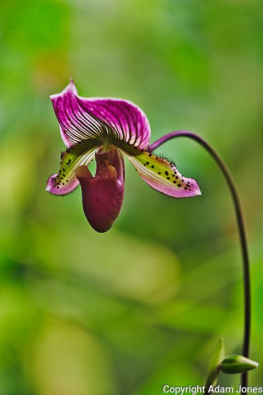 Ladyslipper Orchid, Paphiopedilum spp.