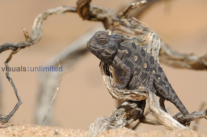Chameleon, Namib Desert, Namibia.