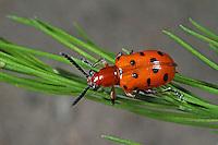 Zwölfpunkt-Spargelkäfer, Spargelkäfer, Zwölfgepunkteter Spargelkäfer, Zwölfpunktiger Spargelkäfer, Crioceris duodecimpunctata, Chrysomela 12-punctata, Spotted Asparagus Beetle, twelve spotted asparagus beetle, Twelve-spotted Asparagus Beetle