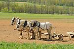 Nippenose Valley. Percheron horses