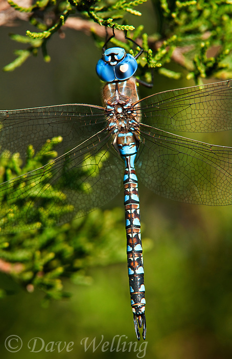 339360016 a wild male blue-eyed darner dragonfly rhionaeschna multicolor perches on a small limb at southeast regional park austin travis county texas united states