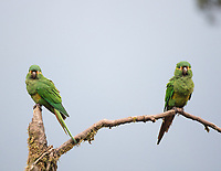 Yellow-plumed Parakeet; Leptosittaca branickii; Ecuador, Prov. Zamora-Chinchipe, Tapichalaca Biological Reserve