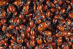 Ladybird beetles, Washington