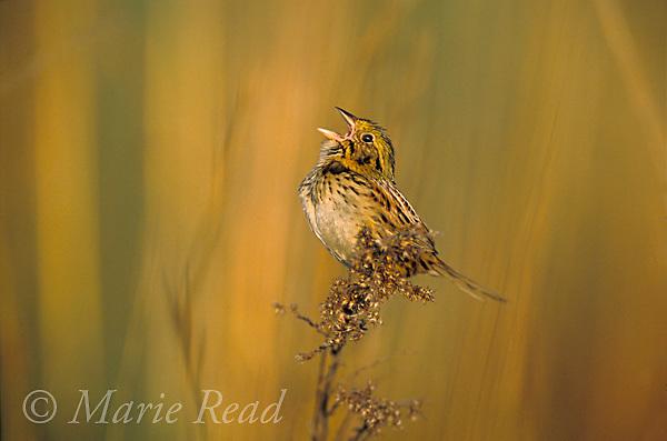Henslow's Sparrow (Ammodramus henslowii) male singing, St. Clair County, Missouri. Endangered species.Slide # B164-1441