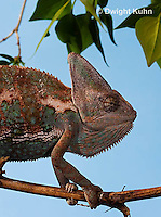 CH51-705z  Male Veiled Chameleon in display color,  Chamaeleo calyptratus