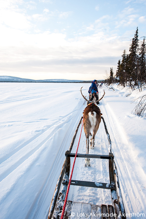 Reindeer, sledding, and Sami culture