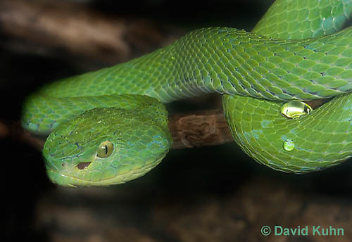 0429-1103  Mexican Palm Pitviper (Rowley's Palm Pit Viper), Very Rare Mexican Snake, Bothriechis rowleyi  © David Kuhn/Dwight Kuhn Photography