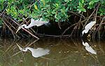 Great and snowy egrets, Ding Darling National Wildlife Refuge, Florida