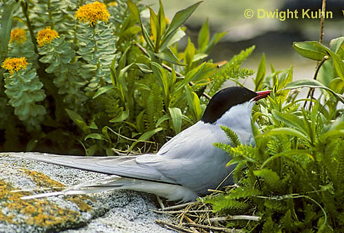 MC55-001d  Arctic Tern - on nest incubating eggs - Machias Seal Island, Bay of Fundy - Sterna paradisaea