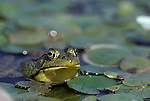 Green frog  Rana clamitans